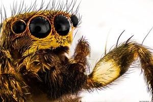 Salticidae - Foto Macro - Macro Fotografía.