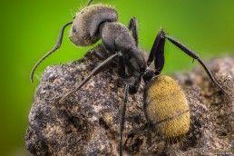 Camponotus - Foto Macro - Macro Fotografía.
