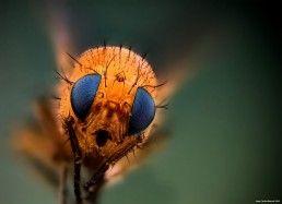 Diptera - Foto Macro - Macro Fotografía.