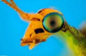 Chrysopidae - Foto Macro - Macro Fotografía.