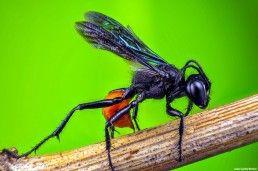 Hymenoptera - Foto Macro - Macro Fotografía.