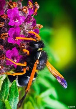 Hypodynerus sp. - Foto Macro - Macro Fotografía.