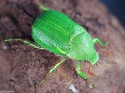 Coleoptera - Foto Macro - Macro Fotografía.