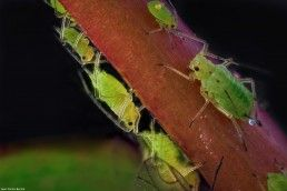 Aphididae - Foto Macro - Macro Fotografía.