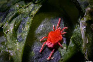 Trombidiidae - Foto Macro - Macro Fotografía.